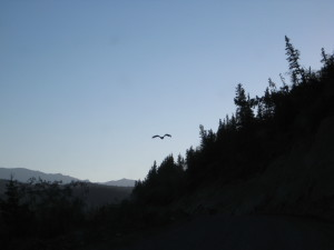 This eagle escorted us for half a mile after we crossed the Copper River.