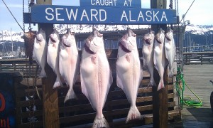 Catch of the Day:  Halibut, halibut and more halibut.
