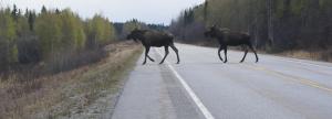 Moose-Road