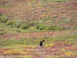 A young moose we spotted every day on our 2014 caribou hunting trip.  We're not sure if it lost it's mother or was forced out on it's own so mom could raise a new calf.