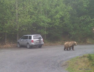 We spotted this brown bear casually walking through the Russian River Campground on the Kenai Peninsula.
