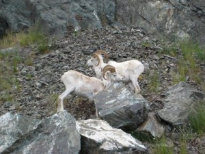 Dall Sheep are at home on rocky cliffs.